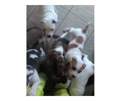 Males And Females American Bulldog Puppies