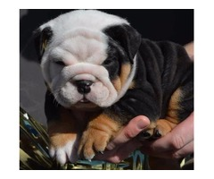 Tri-colored Males and females English Bulldog Puppies Available Now 504-345-9436