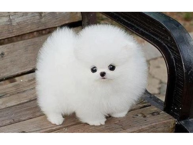 Pomeranian Puppies For Sale Animals Seattle Washington
