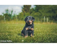 Beauceron puppies with pedigree