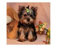Amazing Yorkshire Terrier Puppies For Sale