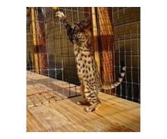 F1 Serval Kittens Sale