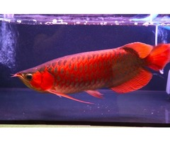 Chilli Red, RTG Arowana and Many Others for Sale