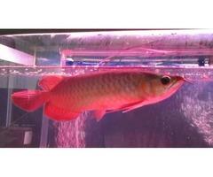 Premium Quality Super Red Arowana Fish For Sale