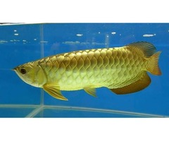 RTG, Chilli Red Arowana Fish For Sale and So Many Others