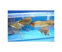 Super Red, Asian Red, Chili Red & 24 K Golden Arowana Fishes on Sale.