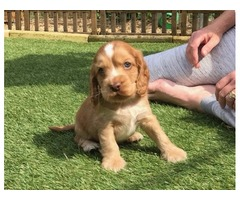 Stunning Kc Reg Show Type Cocker Spaniel Puppies