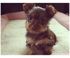 Male and Female Yorkie Puppies