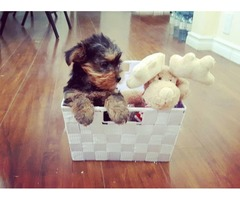 Beautiful Yorkshire Terrier Puppies !