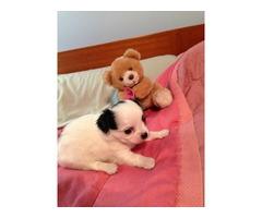 Chihuahua pups!!!