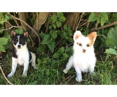 Male and female Pomeranian Puppy for Sale