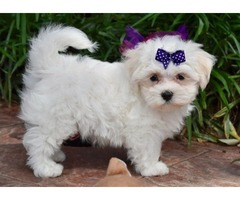 Two Precious Boys, and one Gorgeous Girl Maltese Puppies