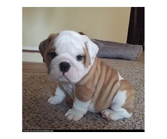 english bulldog female available