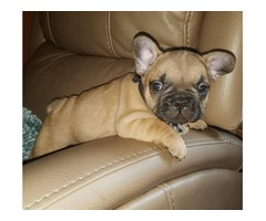 akc blue french bulldog pups for sale