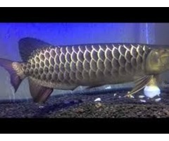 Premium Quality Asian Arowana& s,Black Diamond Stingrays,Flowerhorns