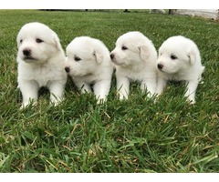 Great Pyrenees Puppies (Purebred) - 6 weeks old