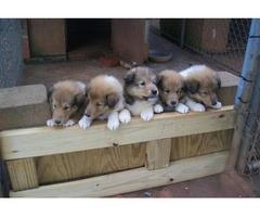ready now akc reg collie pups boys & girl