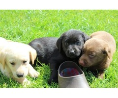 Beautiful Labrador Pups!