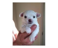 Beautiful Tiny Longcoat Chihuahua Puppy