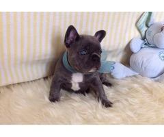 stunning Blue French Bulldog Puppies
