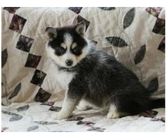 teacup Pomsky Pups available