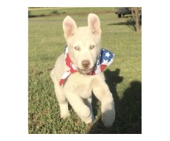 Wolf Husky puppy
