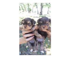 Home Trained male and female Yorkie Puppies