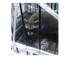 3 racoons for sell