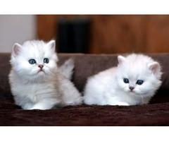 2 White Chinchilla Persian