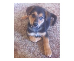 german australian shepherd puppy male 7 weeks old