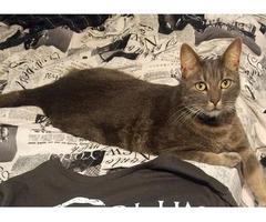 Lost Gray Cat!