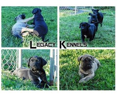 Presa Canario Puppies - Jet Blacks - Registered