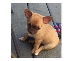 Applehead Chihuahua 10 weeks old