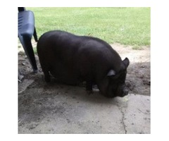 Pot Belly Pig free