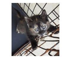 9 week old kittens free