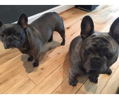 Beautiful KCReg Solid Blue French Bulldog Puppies For Sale‼️
