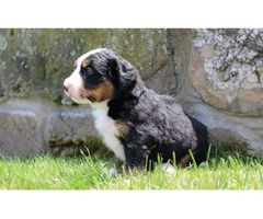 Well-Socialized And Healthy Bernese Mountain Dog puppies