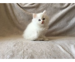 2 gorgeous white Chinchilla Persian Kittens available