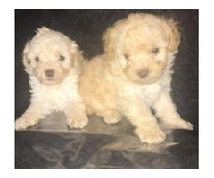 Toy Poodle Puppies Avail