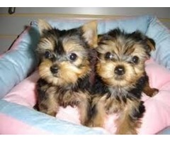 two yorkies male and female for sale