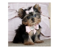 Amazing yorkies for sale