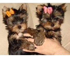 2 cute male and female AKC  exquisite yorkies for sale