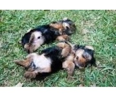 2 coral charming male and female yorkies puppies for sale
