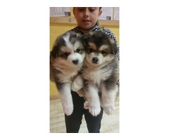 Male and Female Pomsky Puppies.