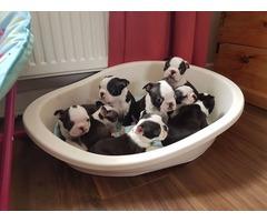 Boston Terrier puppies .