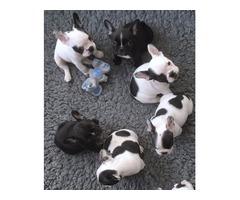 Cute French Bulldog puppies.