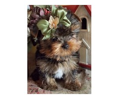 Adorable AKC Yorkie Puppies.