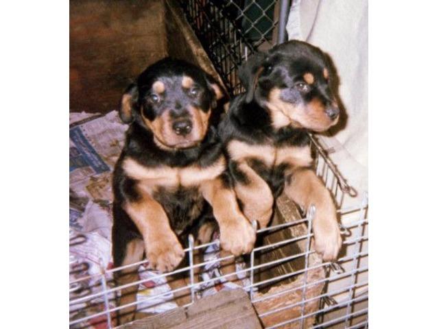 Akcckc Rottweiler Puppieseuropean Bloodlines Animals