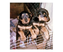 AKC/CKC Rottweiler puppies,European bloodlines