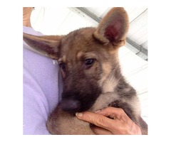 UKC Registered German Shepherd Puppies